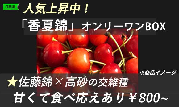 自宅用さくらんぼ人気上昇中、香夏錦オンリーワンBOX-山形東根槙農園